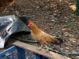 Vendo lindo gallo raza ministura ( kiko)