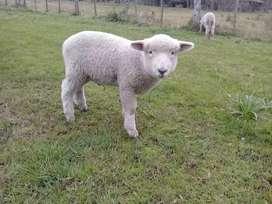 Vendo corderos para mascota , reproductor o control vegetal en Brandsen