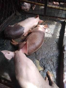 Venta de cerdos gordos y economicoss