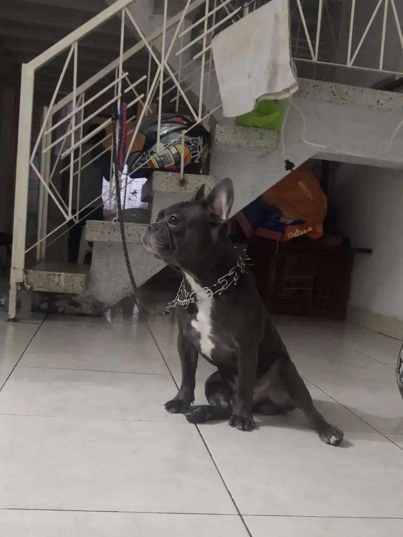 Bulldog francés Blue monta / busca novia