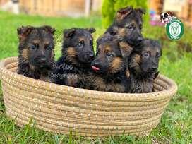 Cachorros Pastor Aleman en Pet Vital