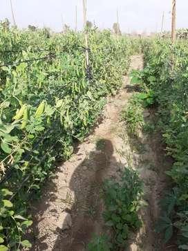Cuadrilla de personal de cosecha pará frutales