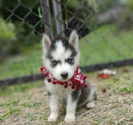Vendo lindos cachorros raza Husky siberiano de 45 dias de nacidos dpy garantia de raza con sus vacunas entrega inmediata