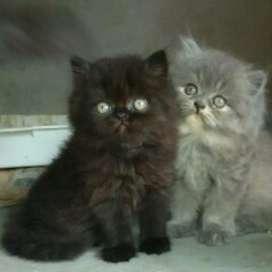 Disponible gatitos persas en el HUILA