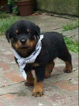 Hermosos perritos de 45 días rottweiler
