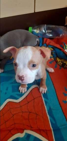 Cachorros fusion american bully pitbull