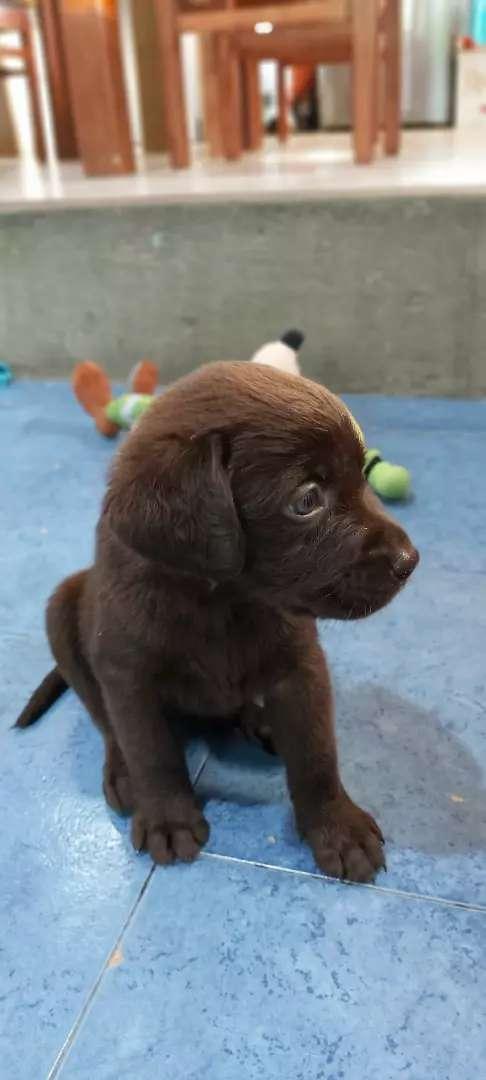 Cachorros labradores marrones 0