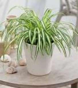 Chlorophytum comosum Mala Madre