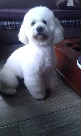 PARA MONTA/ French Poodle.