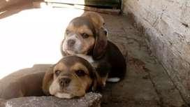 Orejones beagle juguetones