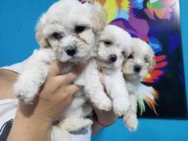 Hermoso  french poodle minitoy