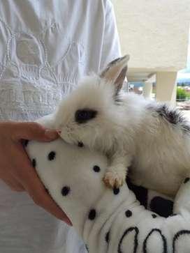 Se vende conejito cabeza de León