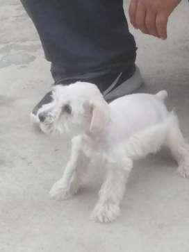 Cachorro Schnauzer blanco