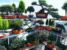 Regala bonsái