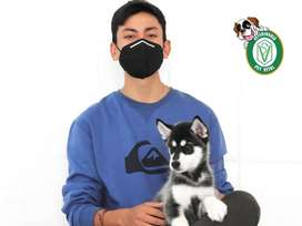 Siberianos cachorritos juguetones en Pet Vital