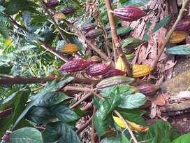 Vendo terreno en el Coca- Oriente 7 hectareas de cacao de dos años de edad.
