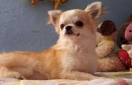 Monta de Chihuahua de pelo largo o busca novia
