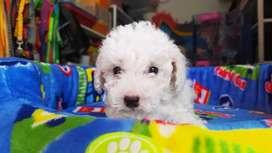 Mini poodle macho