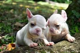 Cachorro Bulldog Frances Fawn Crema . Criadero El Arca del frances