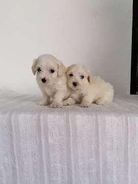 Amorosos french poodle machitos tienen 53 días