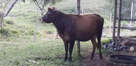 Se vende vaca yerhol preñada