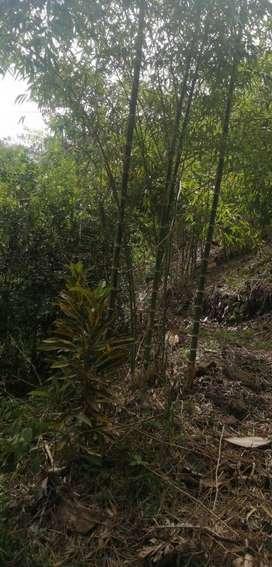 Plantones de bambú guadua angustifolia precio de oferta