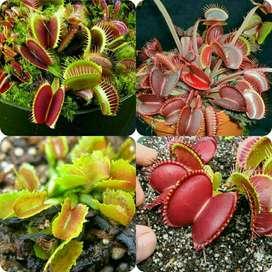 Plantas Carnívoras Venus Atrapamocas Y Muchas Mas