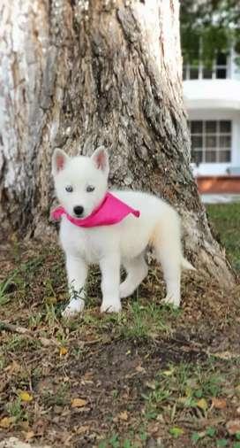 Husky o Lobo Siberiano ENTREGA INMEDIATA