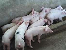 Lechones , Cerdos Jersey X Pietran
