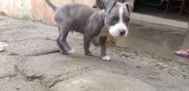 Perro american pitbull blue
