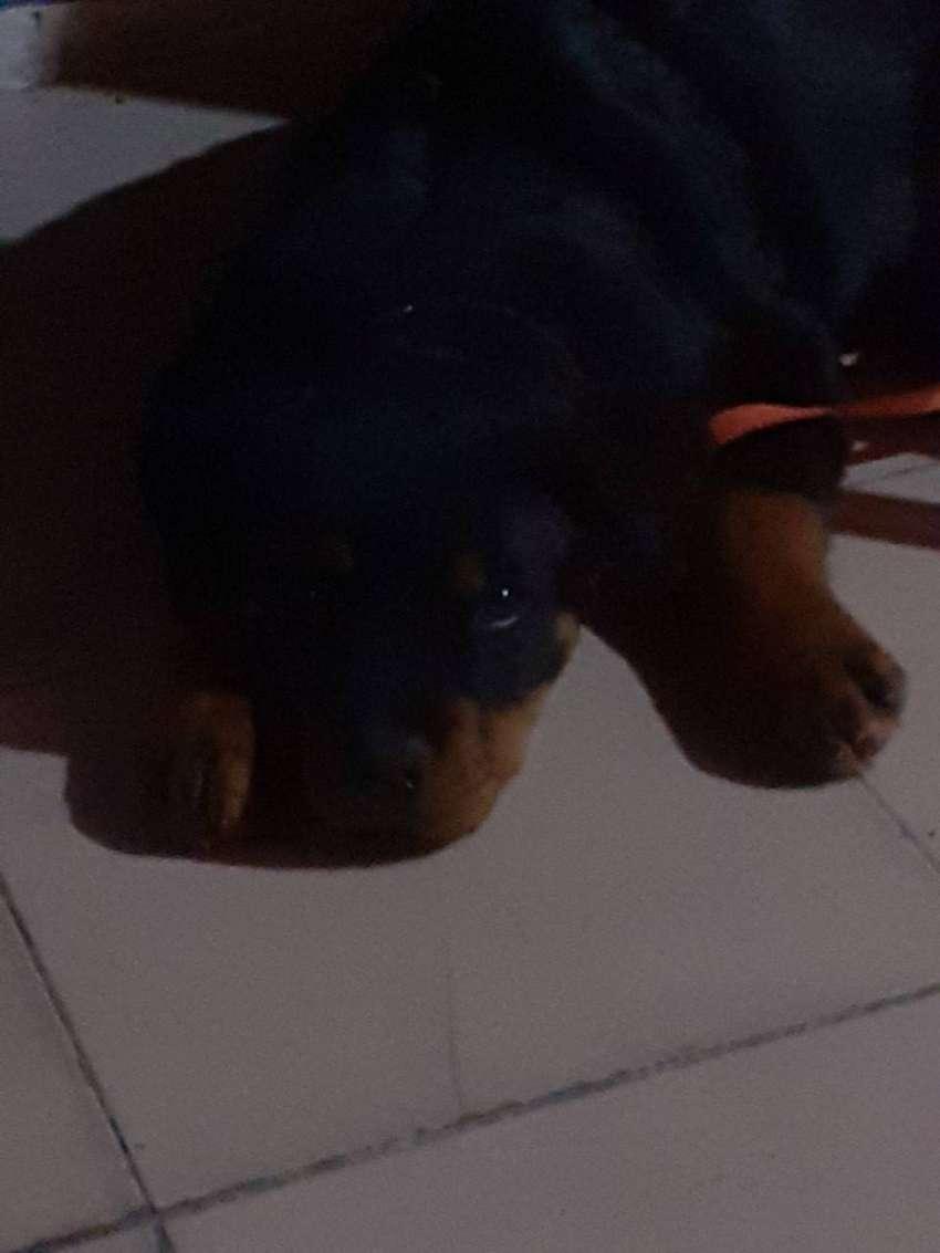 Cachorros Rottweiler 0