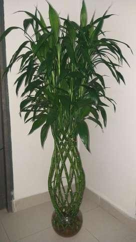 Bamboo de La Suerte