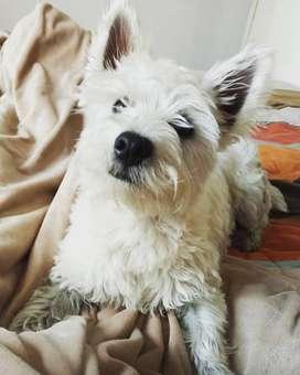 West Highland white terrier,westy para monta