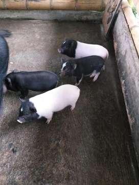 Se venden lindos mini pig