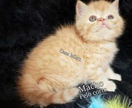 Gatos Persa Gatitos Persa ,Casa Miau