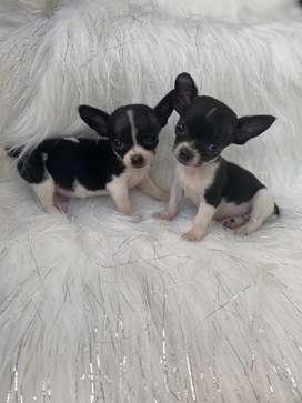 Chihuahuas bogota