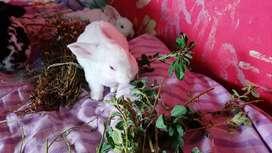 Conejos raza Rex