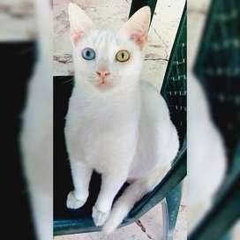 Criadero Casa Gatos khao Manee Joya Blancaa