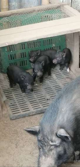 Hermosos mini pig para la venta