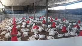 Pollo ala venta