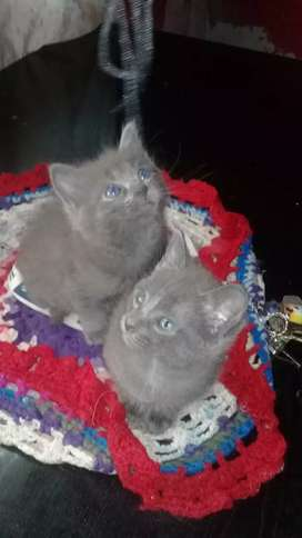 Gatitos macho y henbrita  azul ruso