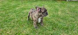 Bulldog francés  Hembra merle