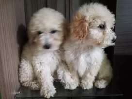 Poodles toys peques