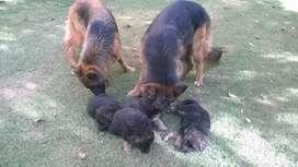 Vendo cachorros ovejero aleman puros