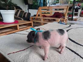 Mini pig listos para entregar