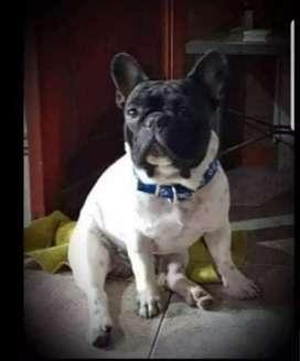 Servicio de bulldog francés