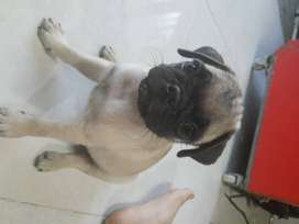 Se vende perros pug