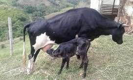 Se vende vaca lechera recien parida