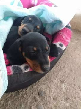 Hermosos cachorros salchichas