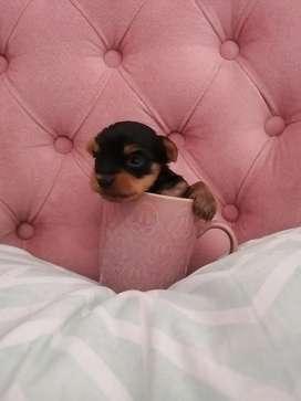 Cachorros Yorky Yorkshire terrier